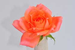 031 gorgeous rose